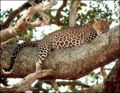 Leopard on the tree-1-.jpg